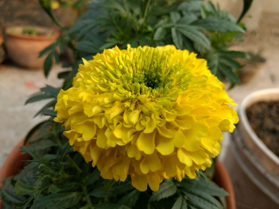 Flowers Yellow Flower Yellow Beauty Merigold Yellow Marigolds Terrace Gardening Terrace Flower Collection Yellow Flowers Nature_collection Nature Pot Garden Casualphotography Garden_styles Garden Flowers Gardens Gardening Garden Garden Love First Eyem Photo