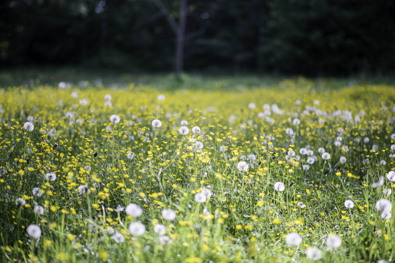 flower, nature, growth, field, grass, beauty in nature, selective focus, tranquility, plant, fragility, no people, outdoors, freshness, day, blooming, close-up, flower head