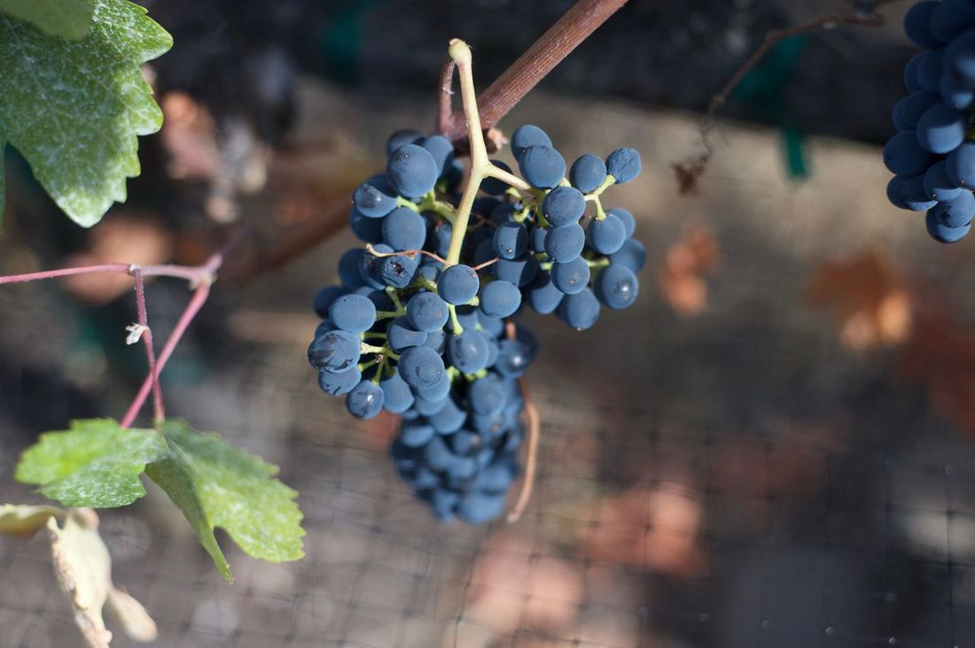Vineyard grapes before harvest with bird netting. Bird Netting Close-up Clusters Grapes Growing Leaves Nature Outdoors Ripe Fruit Vines Vineyard Wine Grapes