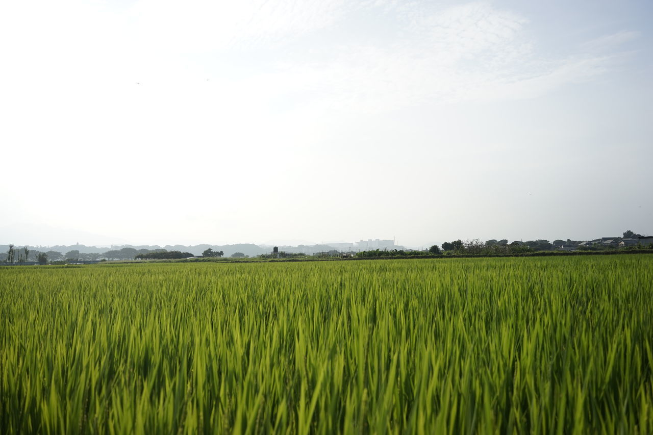 field, agriculture, growth, cereal plant, farm, rural scene, crop, nature, landscape, green color, beauty in nature, tranquility, day, outdoors, scenics, no people, tranquil scene, clear sky, sky, rice paddy, wheat, grass, freshness