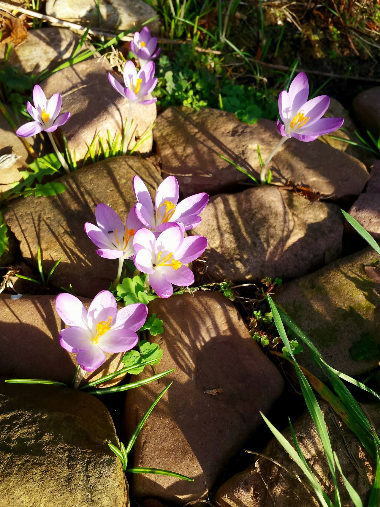 Flower Freshness Beauty In Nature Nature Fragility Growth Petal Plant Flower Head Purple High Angle View Outdoors Leaf Sunlight Blooming Day Feldsteine Close-up Light And Shadow Ladyphotographerofthemonth Close Up Wonderful Springtime Crocus Springtime Stones Composition