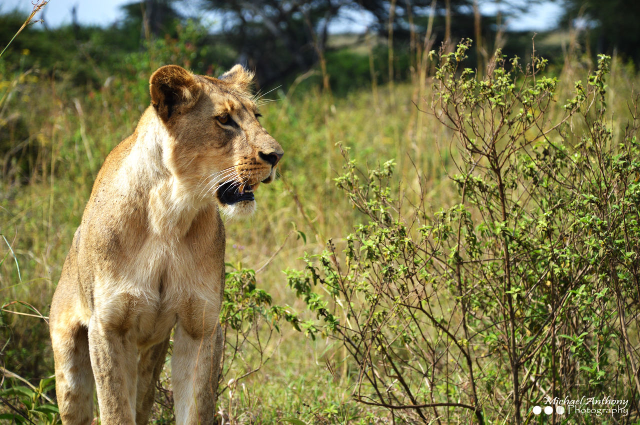Hunter Kenya Lion Nature Predator Safari Wildlife