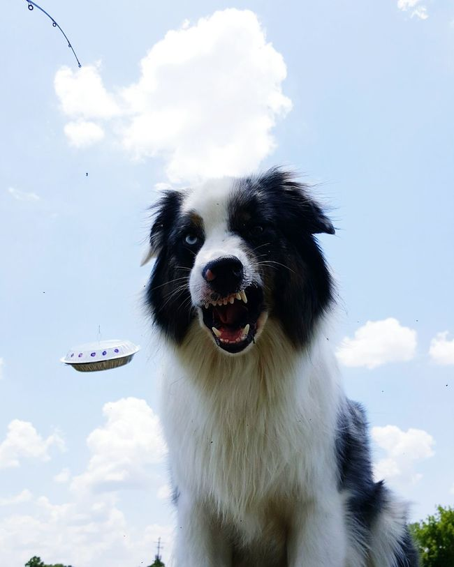 WorldUFODay UFO Xfiles Thetruthisoutthere Iwanttobelieve Bmovie Hollywood Casting Modeling Pet Dog Aussie Aussieaddict Australian Shepherd  The star my film is obviously upset by my meager production budget Aussies Aussiephotos Australianshepherd Pets