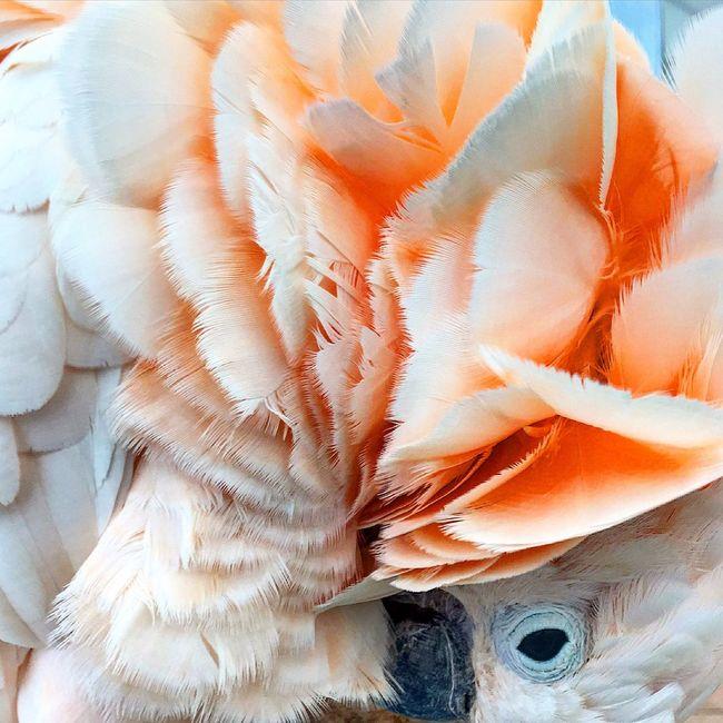 Okeeffe Macaw Peach Feathers