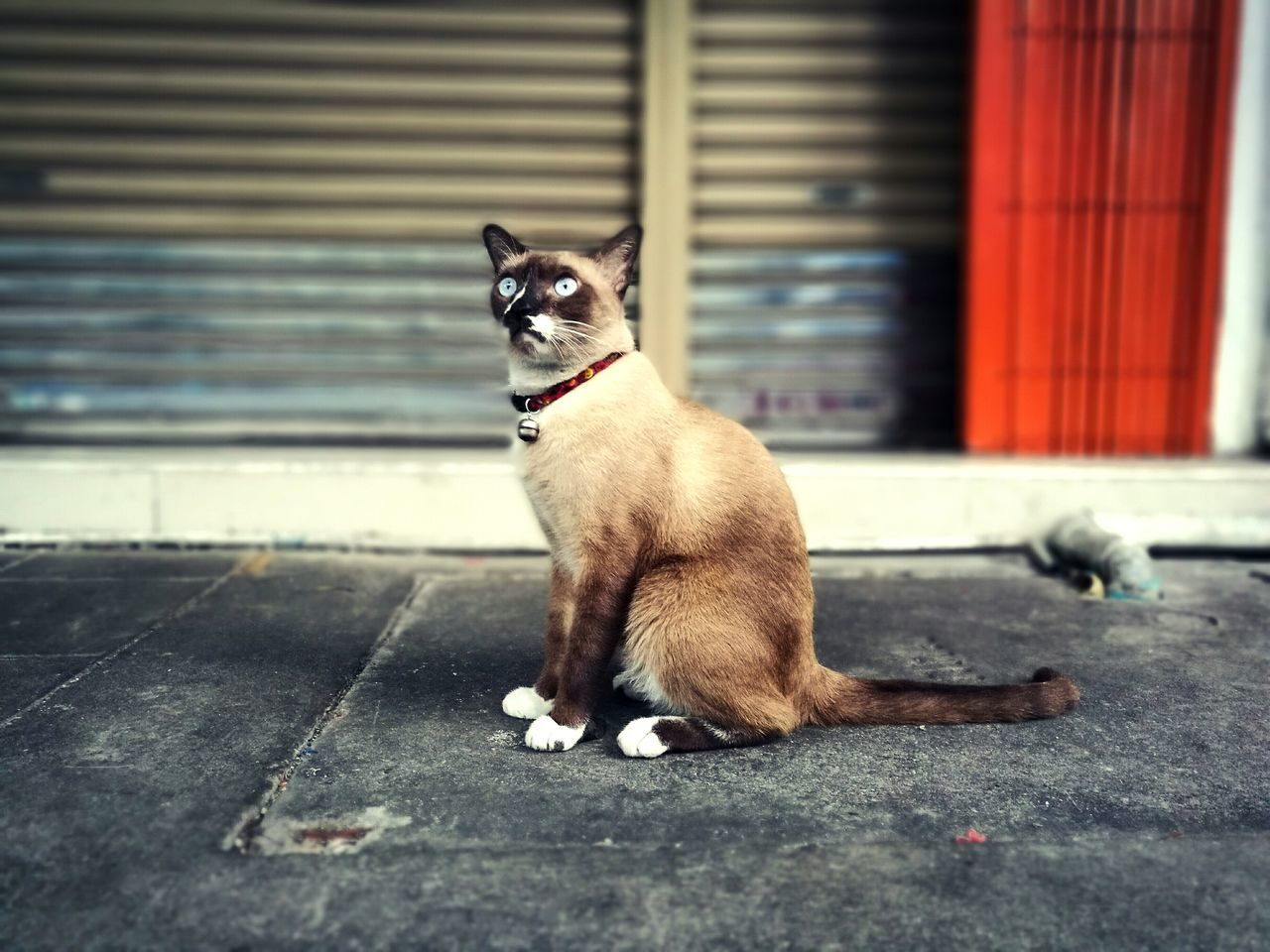 Pets Outdoors Cat Cat Lovers Cat Photography Animals Domestic Cat Streetcat Siamesecat Feline Animal Themes Wonderful ıce Cateyes Naturelovers HuaweiP9 Huaweiphotography Thailand Bangkok