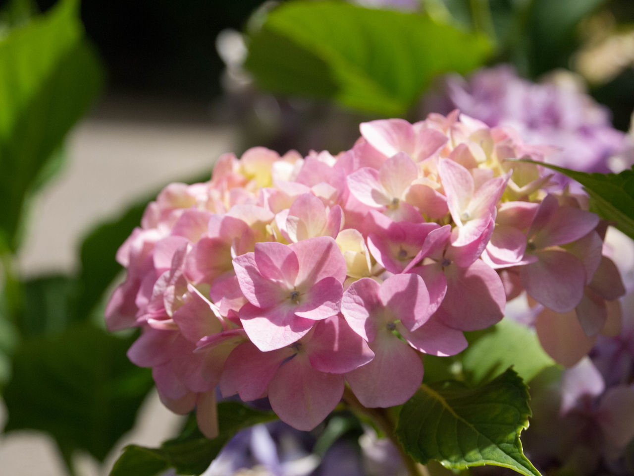 Beauty In Nature Blooming Close-up Day Flower Flower Head Focus On Foreground Fragility Freshness Growth Hydrangea Leaf Nature No People Outdoors Petal Pink Color Plant Rhododendron