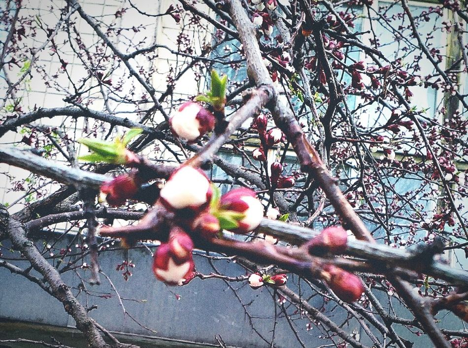 Nature Day Beauty In Nature Growth Flower Head Flower Eyeemphoto Apple Tree Apple Flower Spring Freshnesss Leaves🌿 Photo Organic House Background