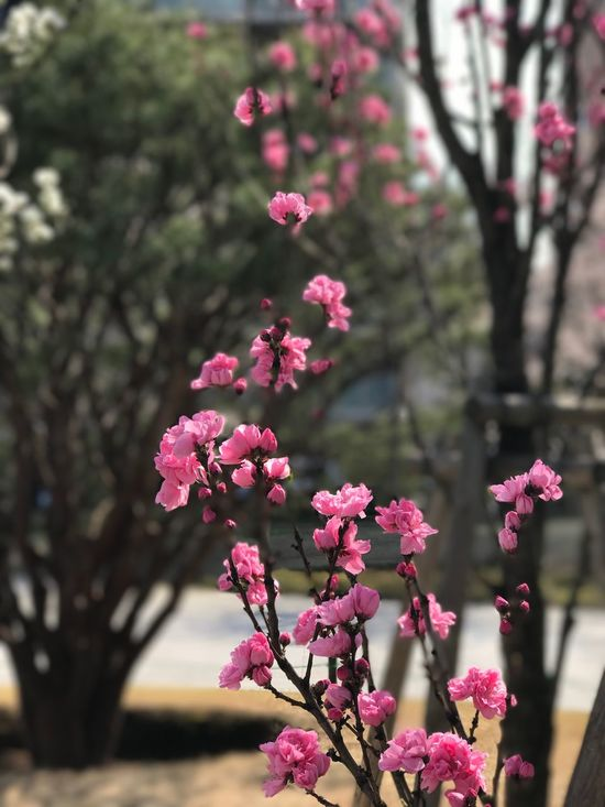 Beautiful cherry blossoms in bloom. Flower Fragility Nature Beauty In Nature Freshness Growth Pink Color Close-up Petal No People Blooming Day Plant Tree Outdoors Flower Head Rhododendron EyeEm Architecture Cherryblossom Flower Photography Tokyo