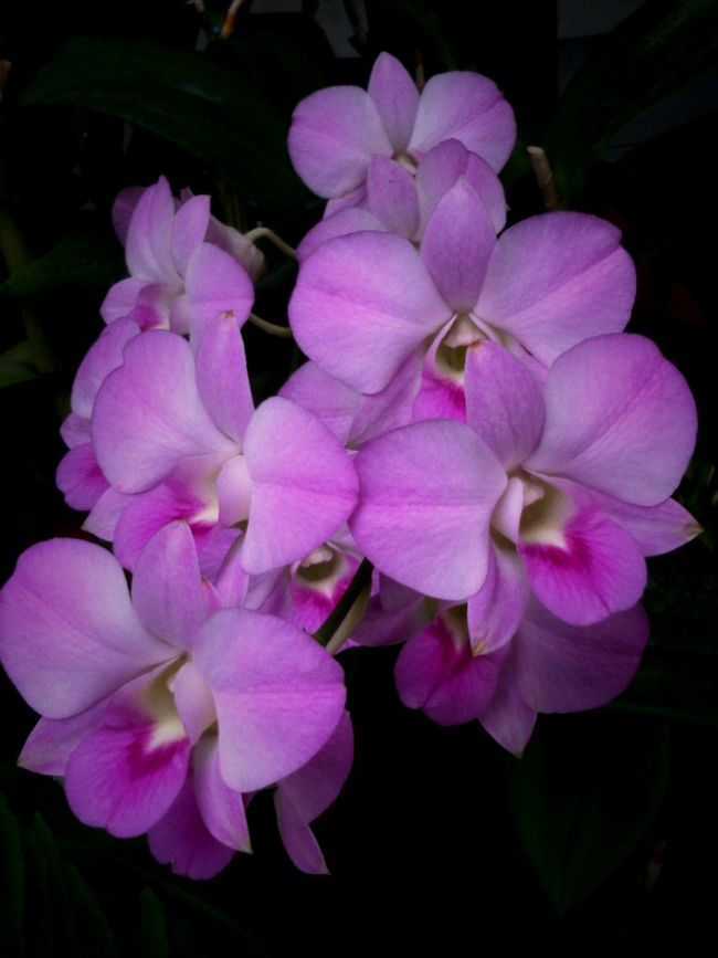 Orchid : Pink Orchids, beautiful flower, flowersporn, flower _ collection.