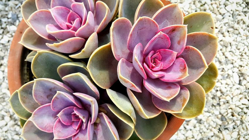 Cactus Flower Nature Growth Plant Petal Pink Color Outdoors Close-up No People Flower Head Day Beauty In Nature Fragility Prickly Pear Cactus Freshness Reshasuper Freshness Nature Freedom Plant Grn