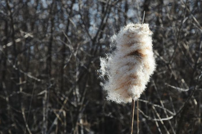 Typha Ševar Rogoz Plant Dry Plants Close-up Nature Rogoznica🌴 Outdoors Close Up Photography Focus On Foreground Blury Background Nature_collection Nature Photography