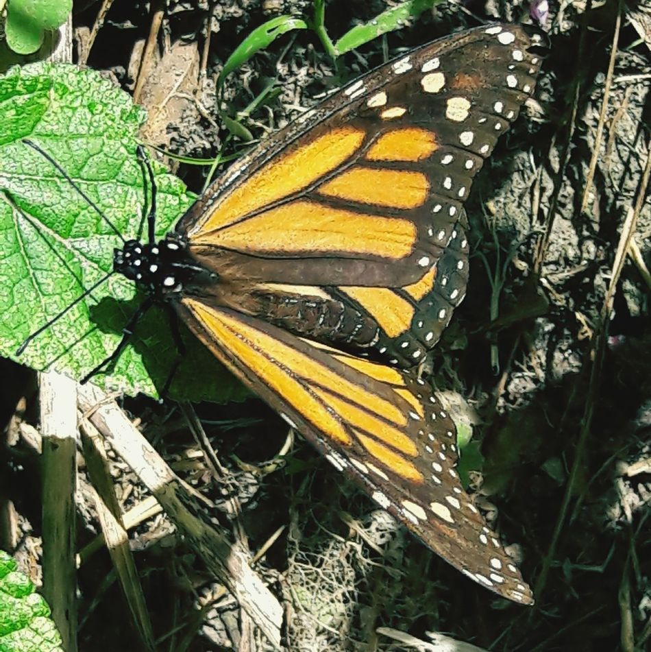 Monarch beauty Leaf Plant Outdoors Yellow Grass Green Color Day Nature No People Insect Close-up Popular Photos Wings Animal Themes Monarch Butterfly On My Street