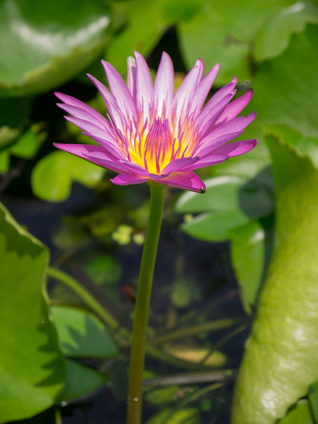 Blooming Purple Lotus in Pond Beauty In Nature Blooming Close-up Day Flower Flower Head Fragility Freshness Growth Leaf Lotus Love Nature No People Outdoors Petal Plant