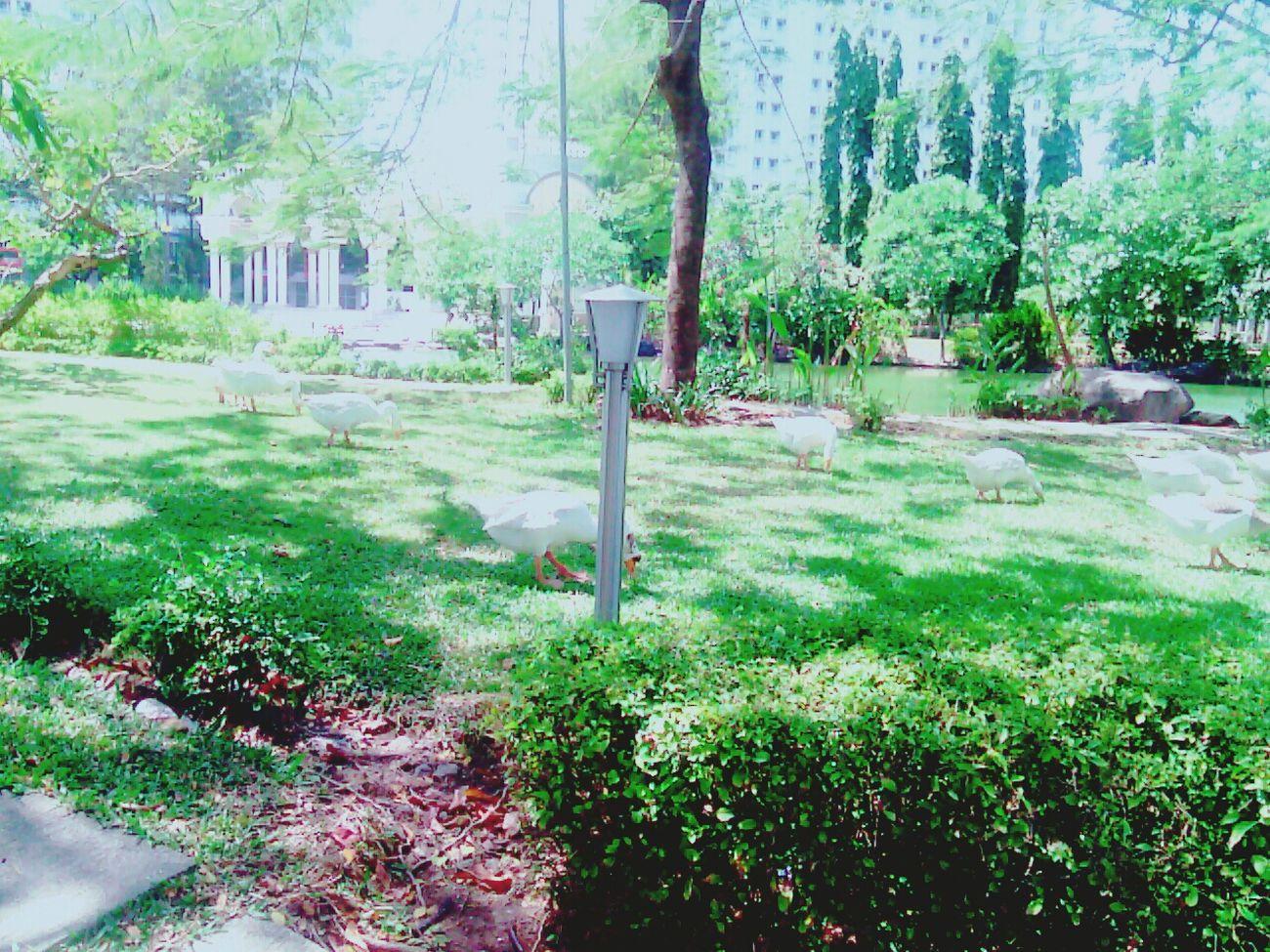 This is surabaya . banyak angsa. bagus kan? hahaha.... Surabaya Angsa Relex Asaljepret Enjoying Life Love ♥ HAHAHAHAHAHA