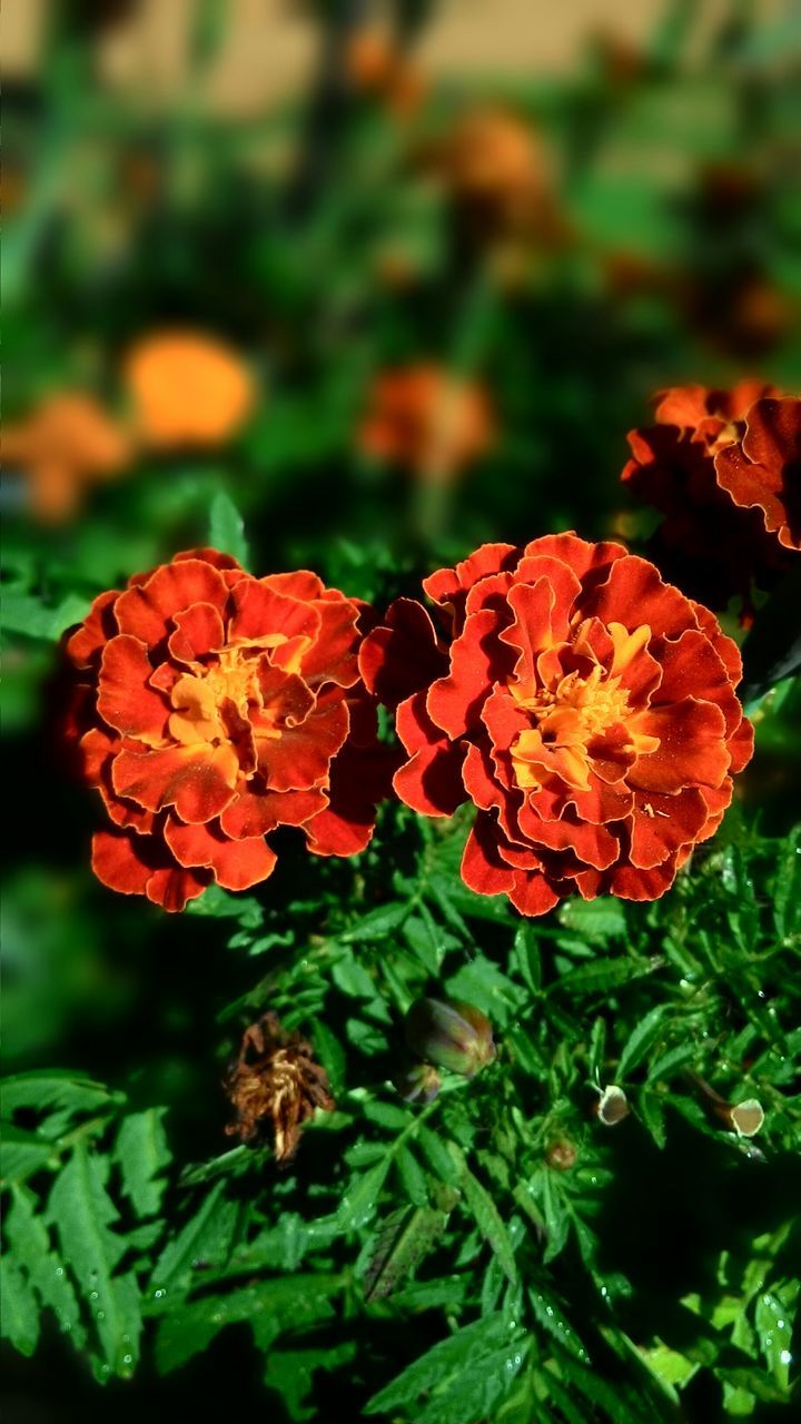 Marigolds Blooming Outdoors