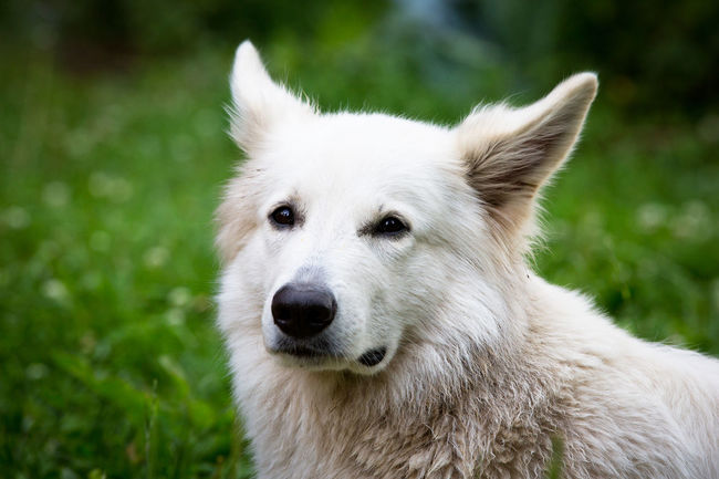 Berger Blanc Suisse Green Animal Hair Animal Portrait Animal Themes Close-up Day Dog Dogs Face Domestic Animals Face Focus On Foreground Grass Looking At Camera Mammal Nature No People One Animal Outdoors Pets Portrait Swiss White White Color