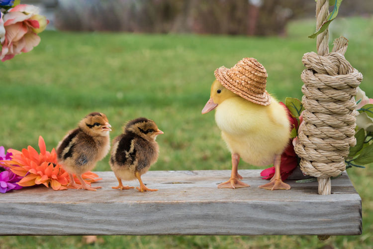 Animal Themes Baby Chicks Baby Farm Animals Bird Day Focus On Foreground Outdoors Young Animal Young Bird