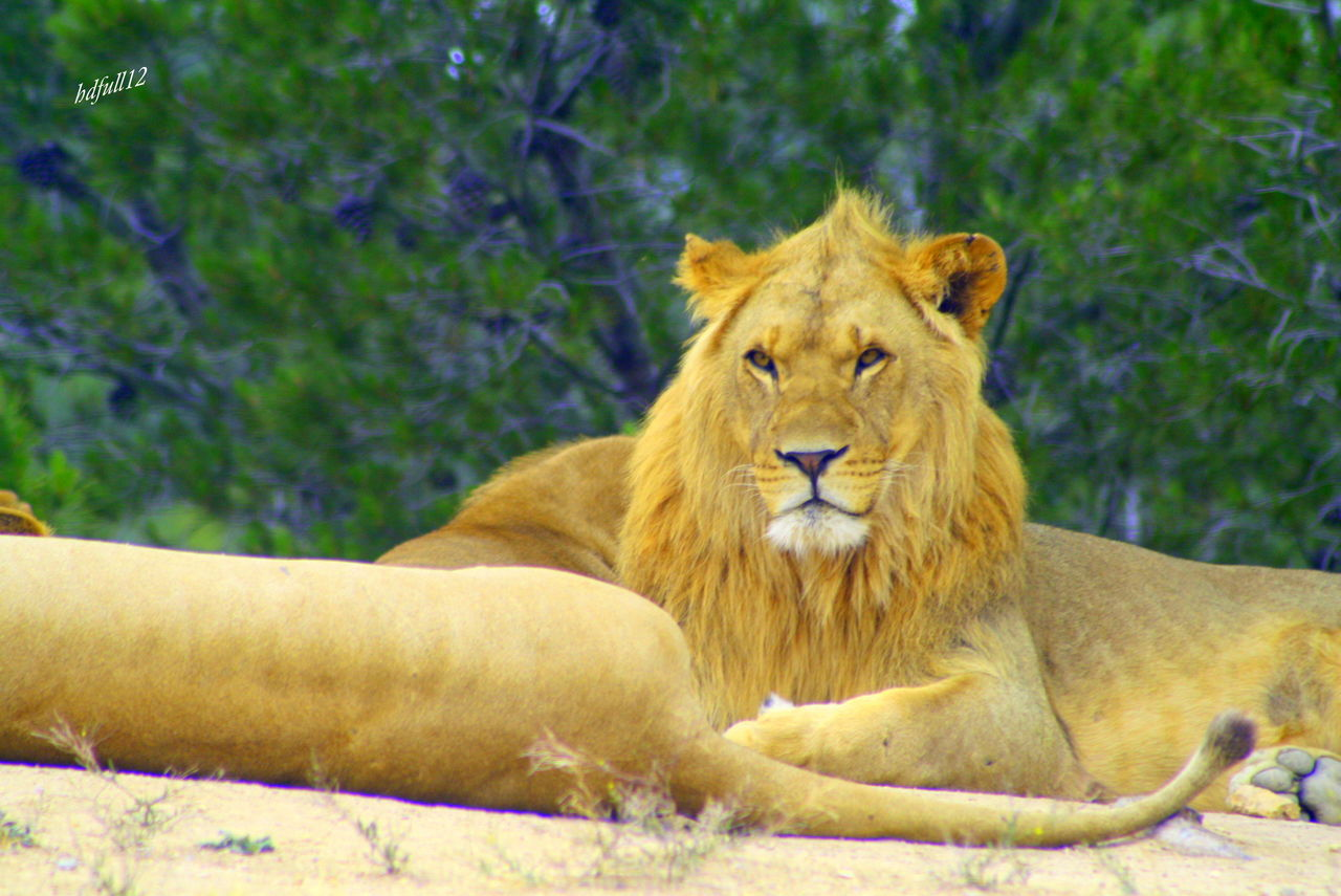 animals in the wild, one animal, animal themes, day, relaxation, outdoors, lion - feline, portrait, mammal, no people, nature