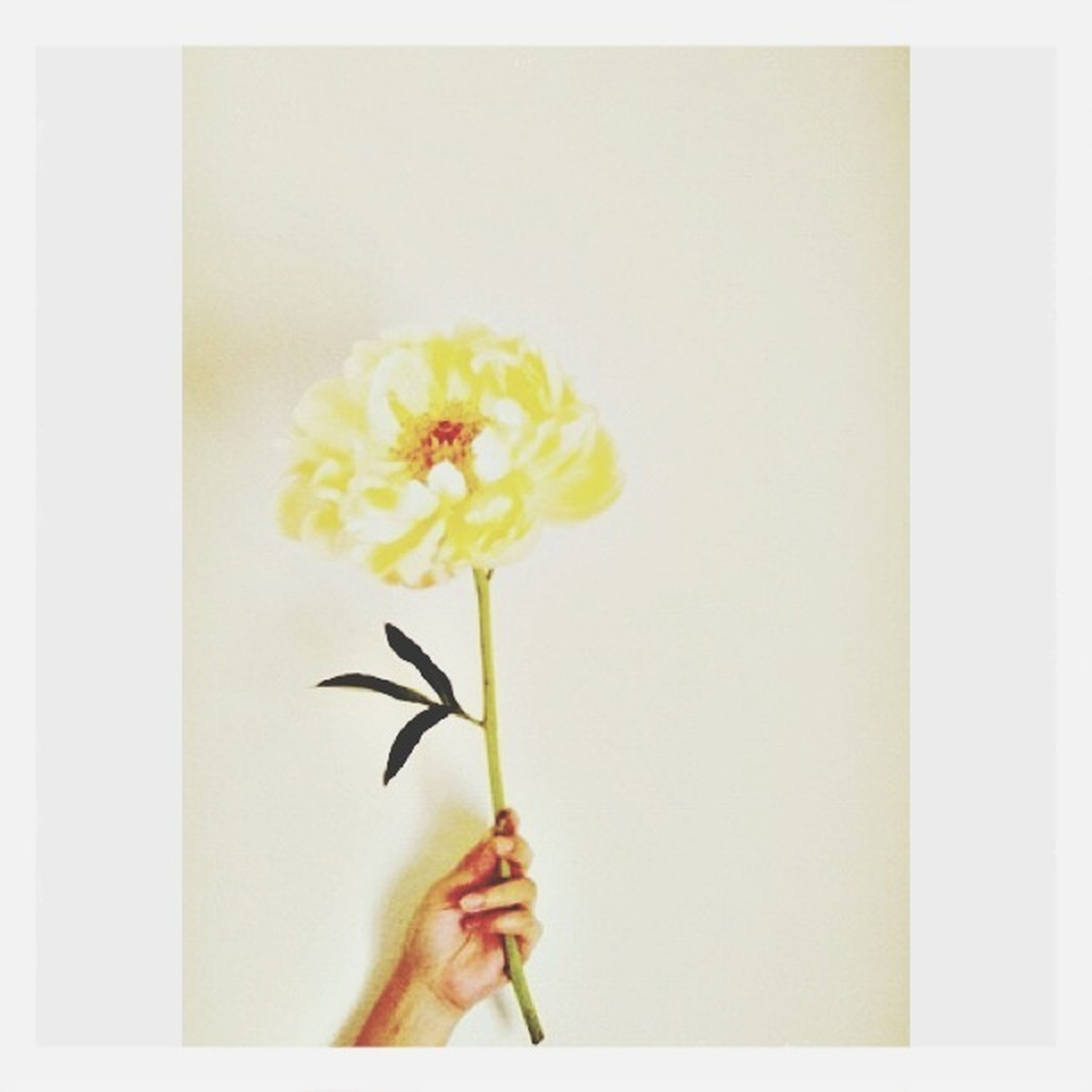 flower, one person, person, holding, flower head, yellow, fragility, transfer print, petal, freshness, studio shot, copy space, auto post production filter, white color, white background, wall - building feature, indoors, stem, part of