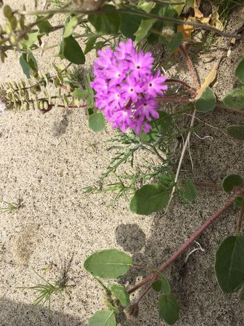 Desert Flower Flower Growth Nature Plant Purple Beauty In Nature