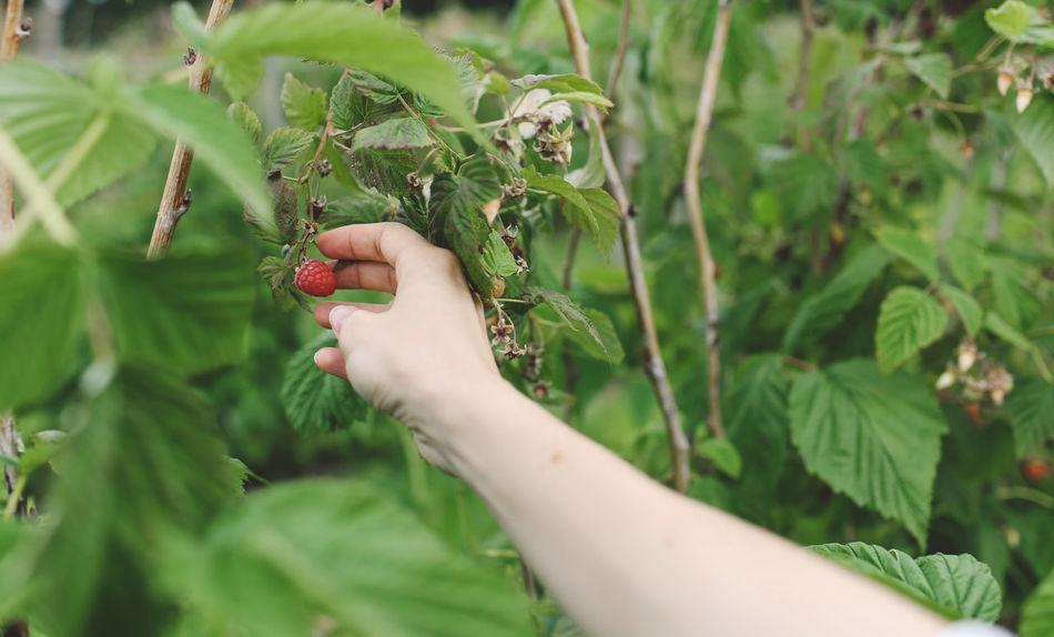 Beautiful stock photos of health, 30-34 Years, Esher, Fruit, Harvesting
