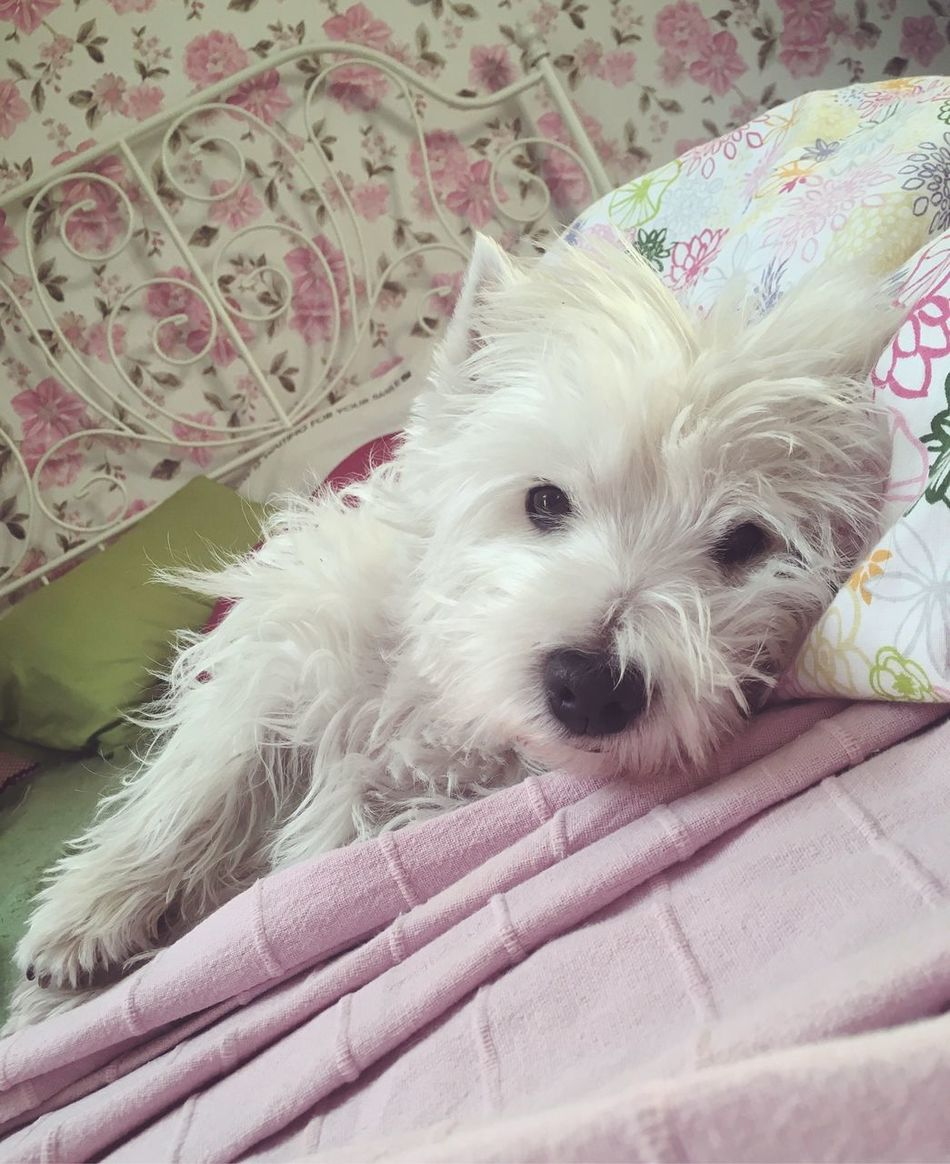 Hello World Bedroom Queen My Dog Is Cooler Than Your Kid. Cute My Dog Dogs Of EyeEm Dog Love Dog Pets I Love My Dog My Girl Chill Dogs Westie Goodgirl Dogmodel Lady Bedtime Animal Themes West Highland White Terrier IPhoneography Dog❤ Westies Lazy