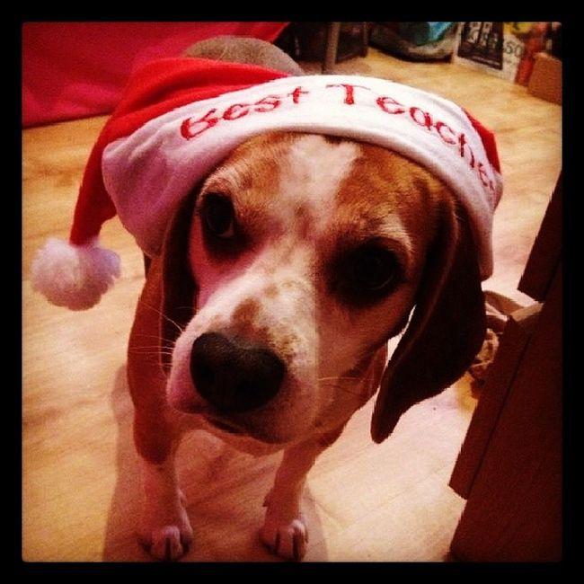 Beagledog Beagle Beaglegang Picoftheday tilly christmas hat bestteacher puppy dog puppydogeyes cute paws doggy