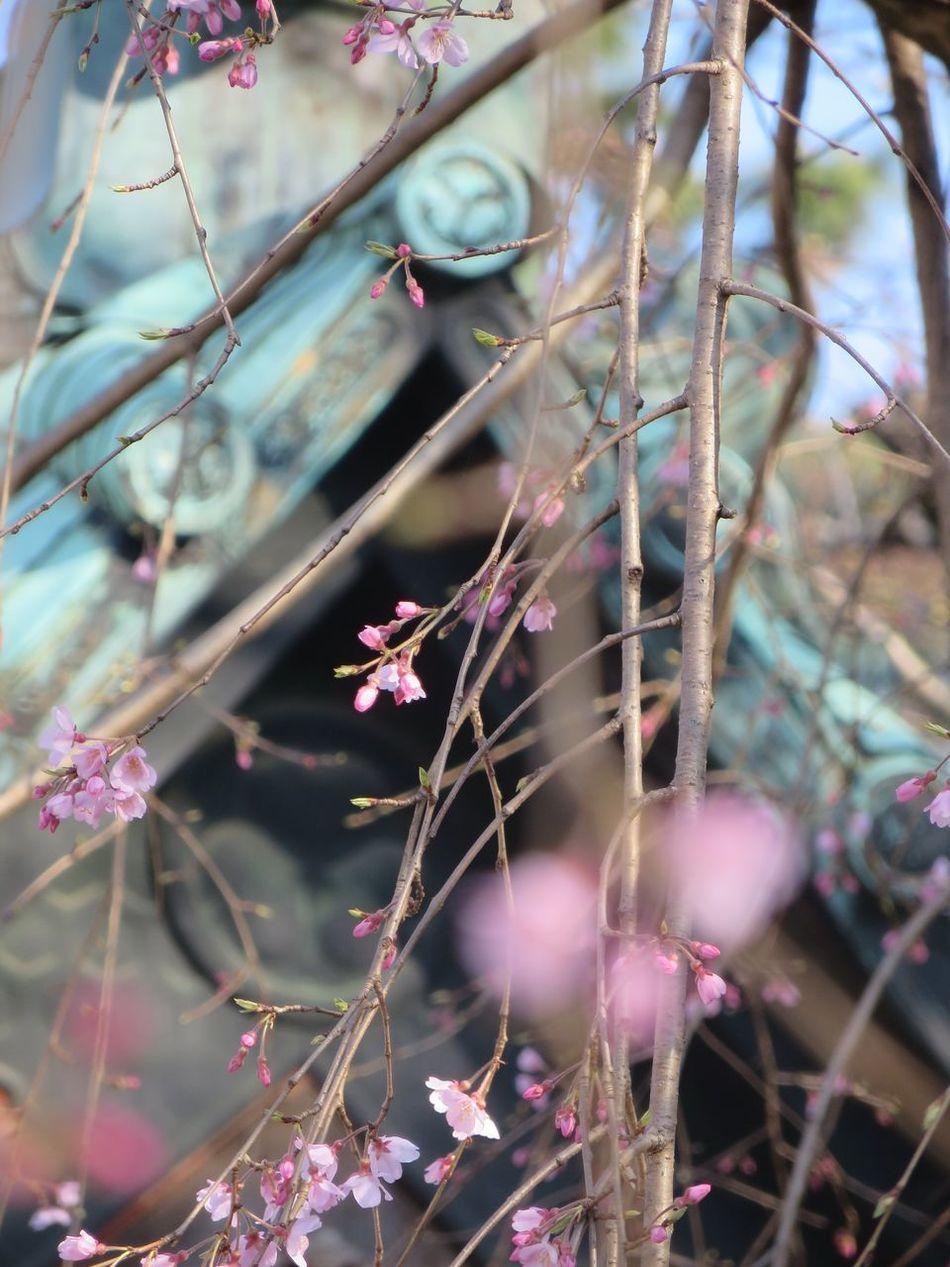 Learn & Shoot: Balancing Elements Sakura2016 Tokyo,Japan Zojojitemple Pmg_tok