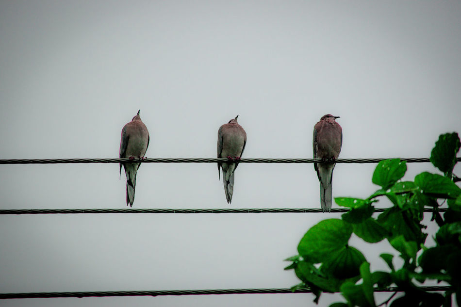 Three laughing doves known as कमेड़ी (Kamedi) enjoying the rain. Bird Photography Three Dove Doves Laughing Dove Indian Dove Bird Birds Jaipur Rajasthan India Indian Check This Out Taking Photos Cloudy Cloudy Day Rainy Days Rain Rainy Day Adapted To The City