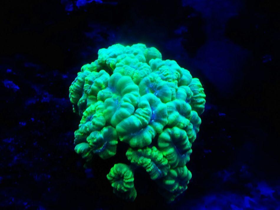 Coral Coralreef Coral Reefs Corals Corallo Corallo Mania!! Corallo