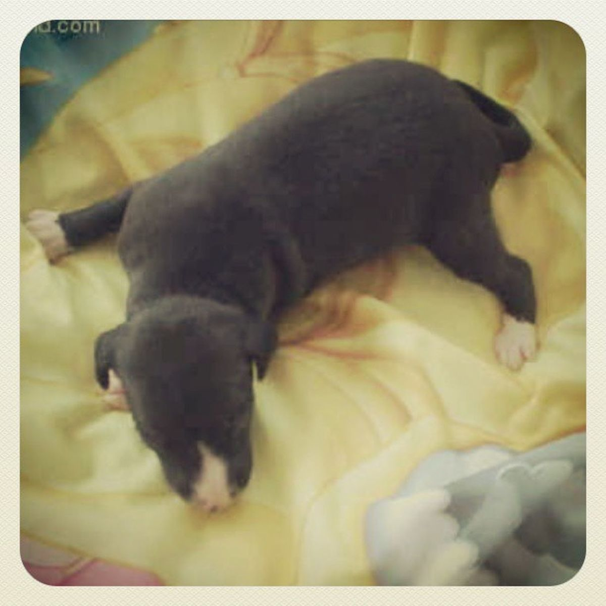 Can I just have this cutie already?! 2moreweeks Italiangreyhound Bane