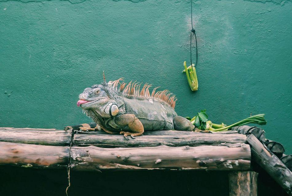 Funny Lizard 😂 Lizard Malaysia Penang Baterfly Garden Garden Nature Iguana Funny