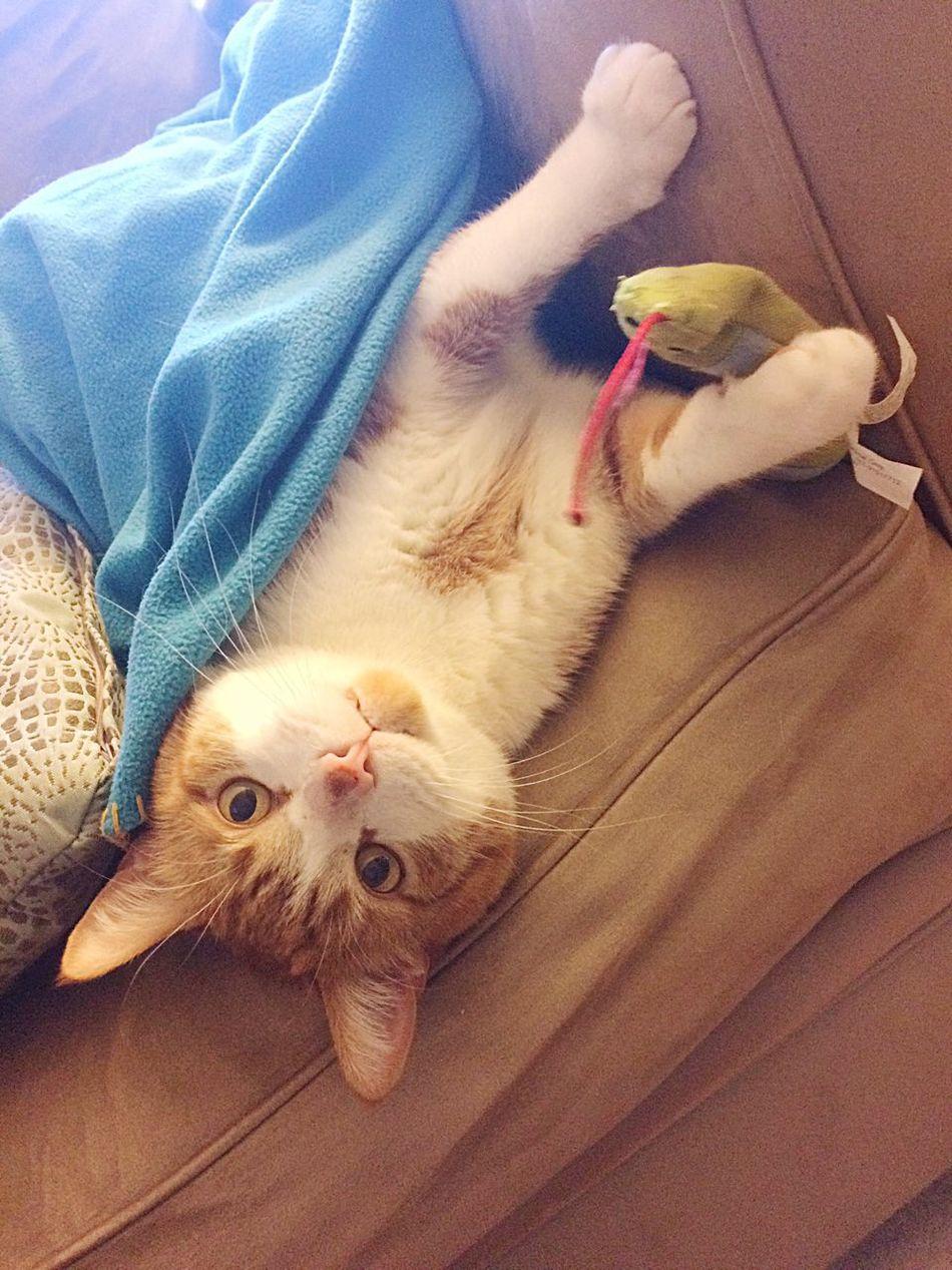 Kitty Cat TabbyCat Tabby Playful Cat Catnip Playing Silly Kitty Pets Domestic Animals Domestic Cat Cute Pets