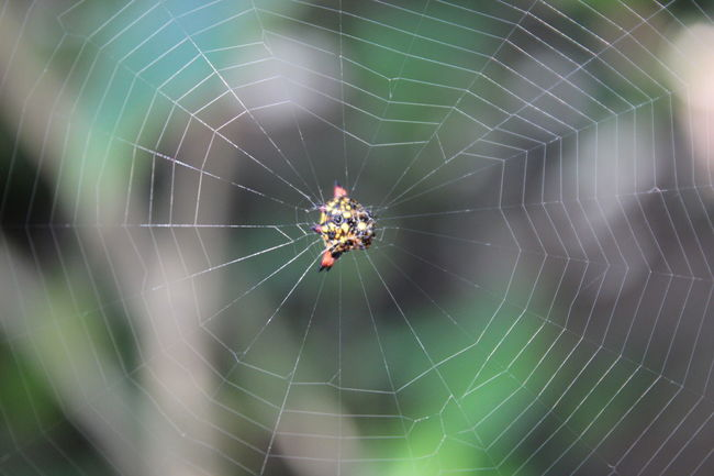 Animal Themes Animals In The Wild Beauty In Nature Christmas Spider Close-up Complexity Day Focus On Foreground Fragility Full Frame Insect Intricacy Making Natural Pattern Nature One Animal Outdoors Spider Spider Web Spiderweb Spinning Sri Lanka Web Wildlife Zoology