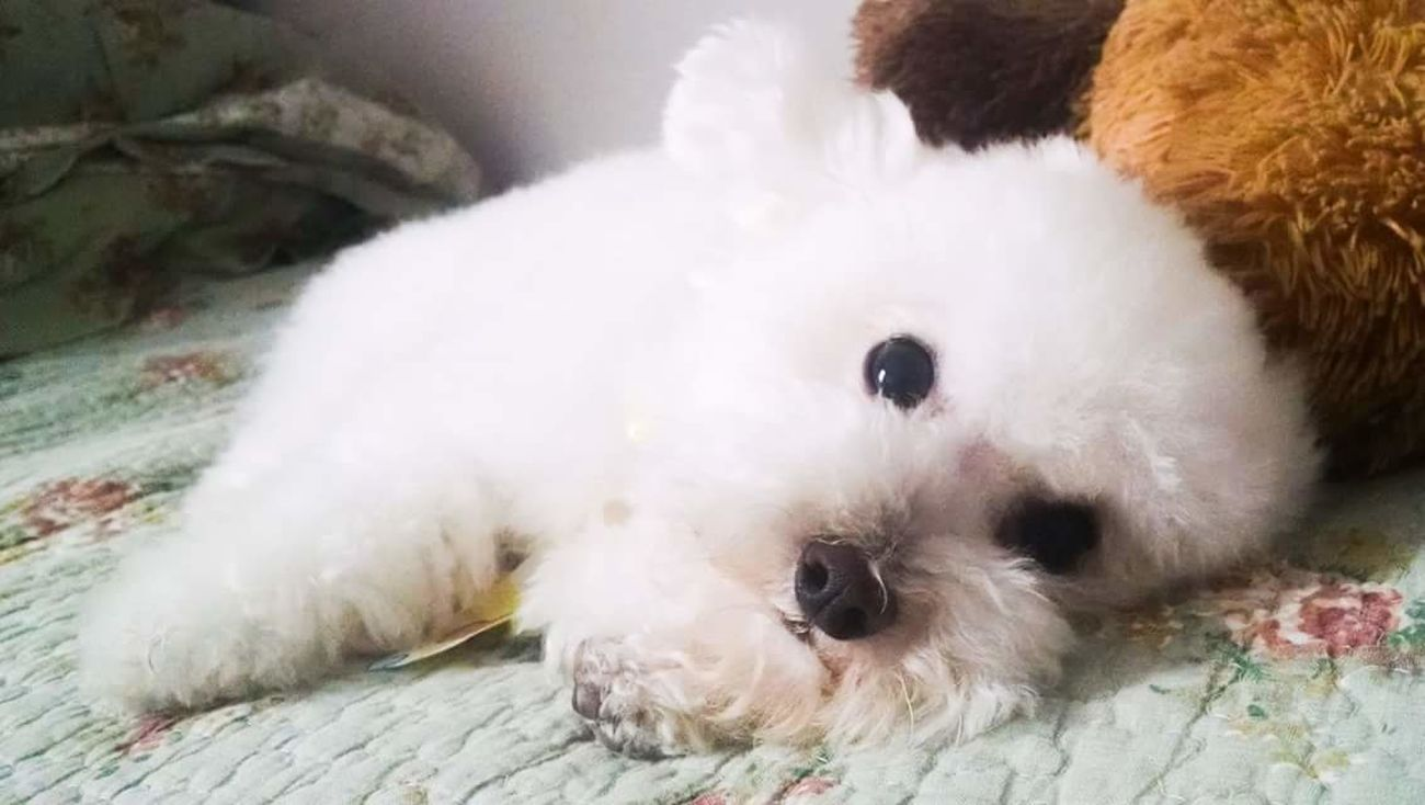 My bear Ilovethispicture Myoldbaby Taking Photos Animals Dog Sweet Poodletoy Mybaby Myshadow Cute Toy Poodle  Pet
