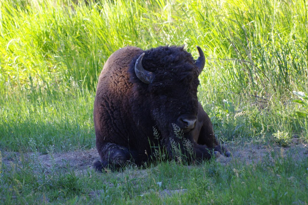 Bison relaxing in Yellowstone National Park. Animal Themes American Bison Animals In The Wild Animal Wildlife Nature Wild Wildlife Wildlife & Nature Wildlife Photography Bison
