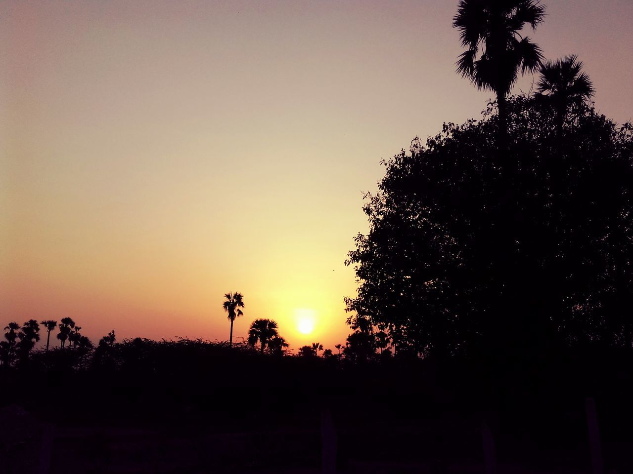 tree, sunset, silhouette, nature, beauty in nature, palm tree, growth, no people, outdoors, sky, tranquil scene, scenics, tranquility, clear sky, animal themes, day