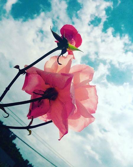 Flowers Roses Wallpaper Amateurphotography Featureme Everydayhornofafrica Everydayethiopia