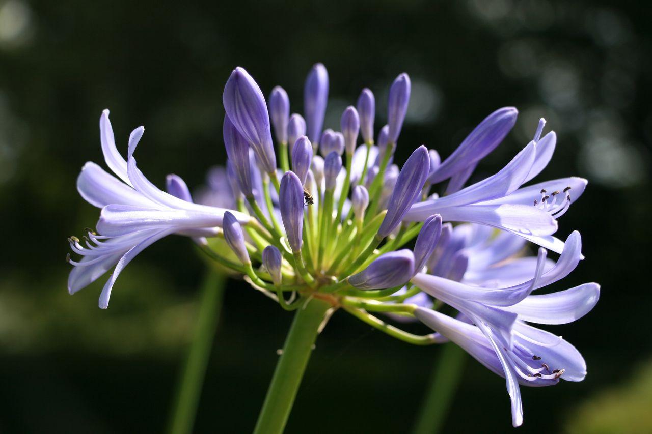 Blue agapanthus Agapanthus Blue Flower Garden The Essence Of Summer Nature's Diversities