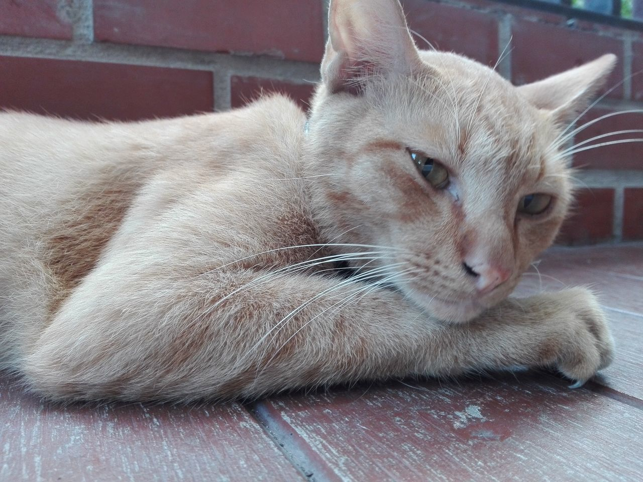 domestic cat, pets, domestic animals, animal themes, one animal, mammal, feline, indoors, whisker, no people, relaxation, close-up, lying down, day, ginger cat