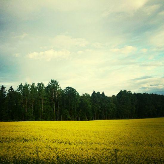Swedish summer. Rapsåker