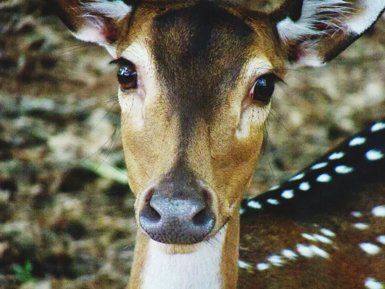 Beautiful stock photos of deer, Animal Themes, Animals In The Wild, Close-Up, Day