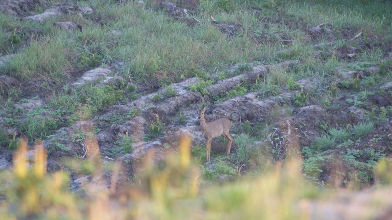 Animal Themes Animal Wildlife Animals In The Wild Field Mammal Nature No People One Animal Outdoors Poland Roe Deer