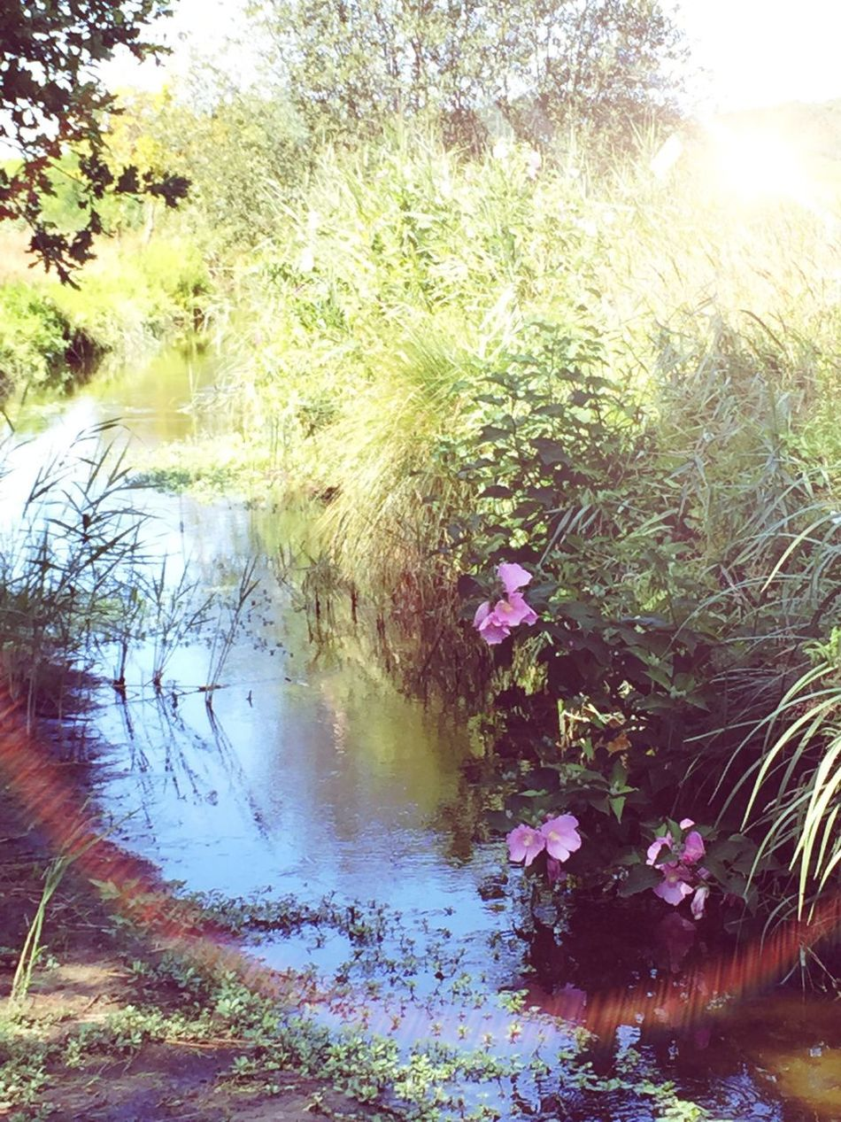 étang Naturelovers Balade Nature Beautiful Nature Les Landes Water Water Reflections Pastel Power Vegetation Plants And Flowers Flowers Nature_collection