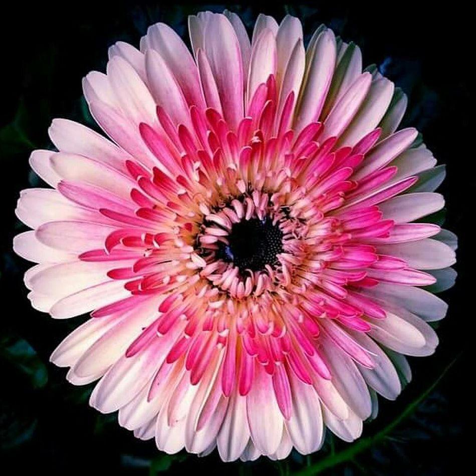 Gerber Daisy Flower Collection Flowers Gerber Daisy Gerberdaisy