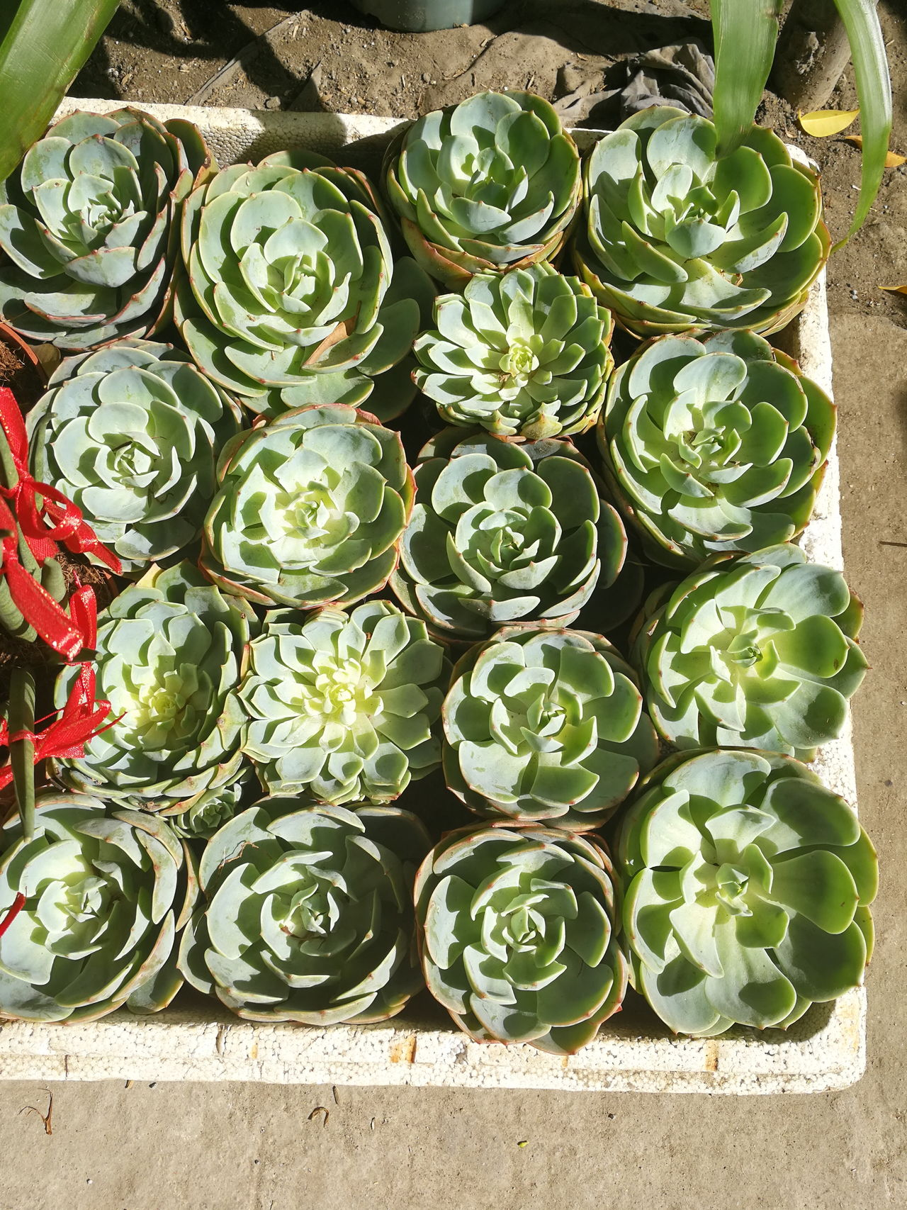 Succulents Large Group Of Objects Nature Potted Plant Cactus Succulent Plants Plants