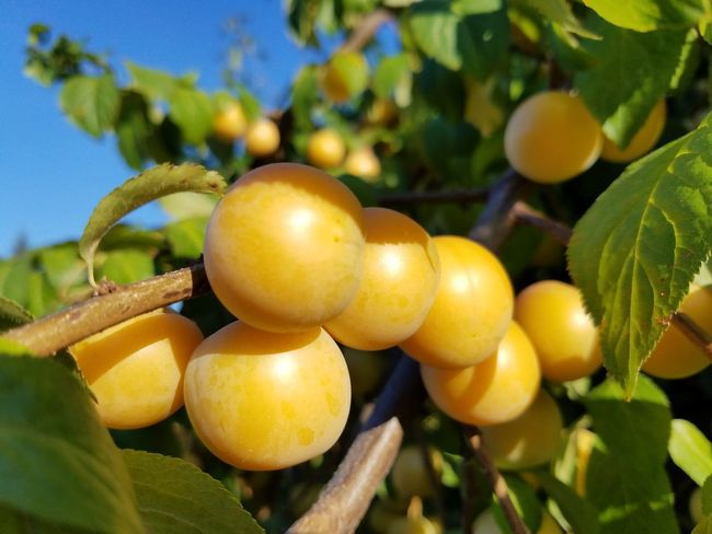 Fruit Tree Yellow Branch Day Focus On Foreground Harvesting Vibrant Color Freshness Close-up