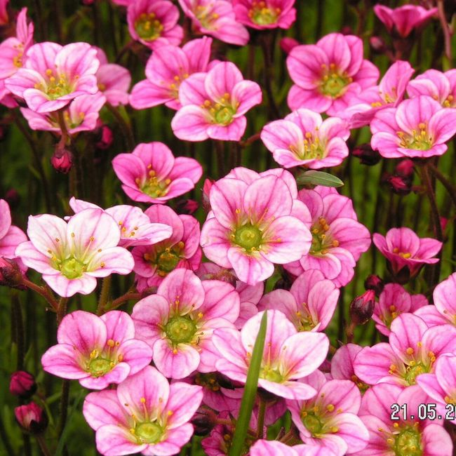 Spring Flowers Flowers Pink Nature