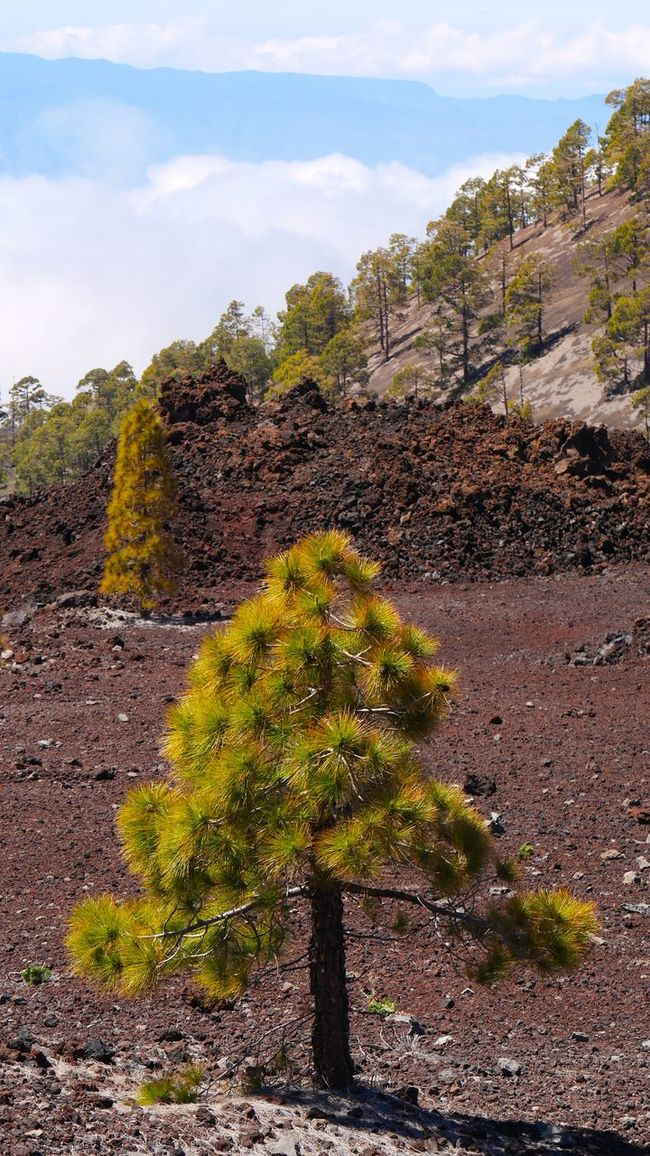 Baumgrenze Beauty In Nature Cloud - Sky Green Color Growth Nadelbaum Nature Outdoors Plant Rock Rock - Object Rock Formation Showcase April Sky Stone Wall Teide National Park Tenerife Tenerife Island Teneriffa The KIOMI Collection Tranquil Scene Tranquility Tree Wolken
