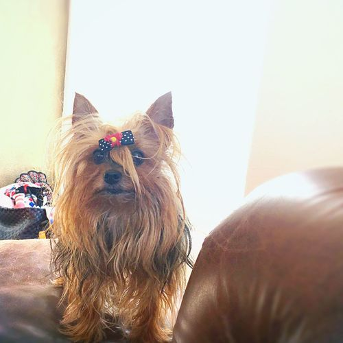 Yorkie Yorkshire Terrier Dogslife Dogs Of EyeEm Yorkieproblems Littledog Yorkie Probs  Yorkielife Washington, D. C. Alice Little Dog Big World
